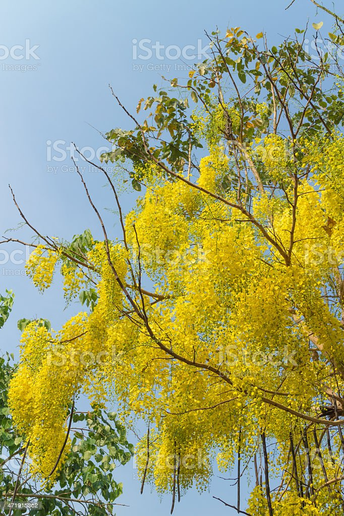 Cassia fistula flower with the leaf stock photo