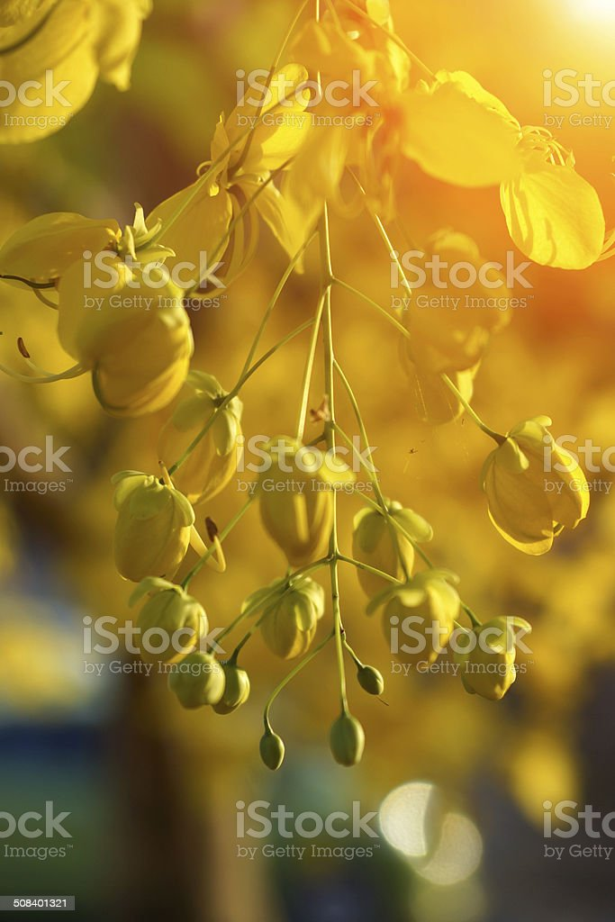 Cassia Flower in summer stock photo