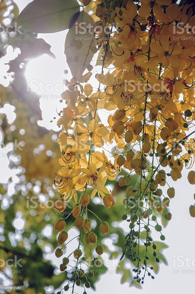 Cassia flower royalty-free stock photo