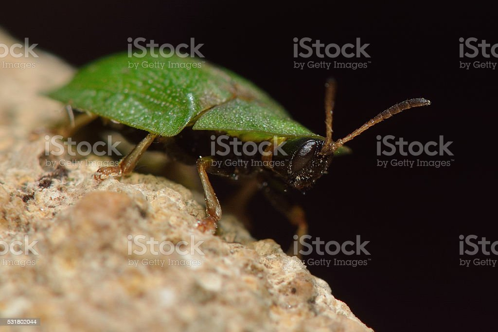 Cassida rubiginosa tortoise beetle head and eyes stock photo