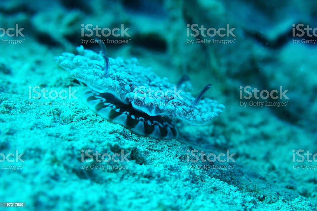 Cassiopea andromeda stock photo