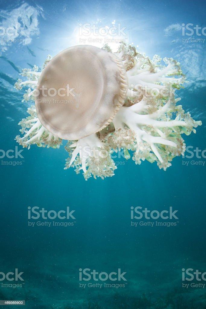 Cassiopea Jellyfish stock photo