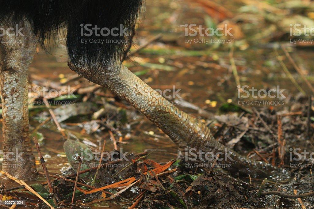 Cassowary leg very hard and big stock photo