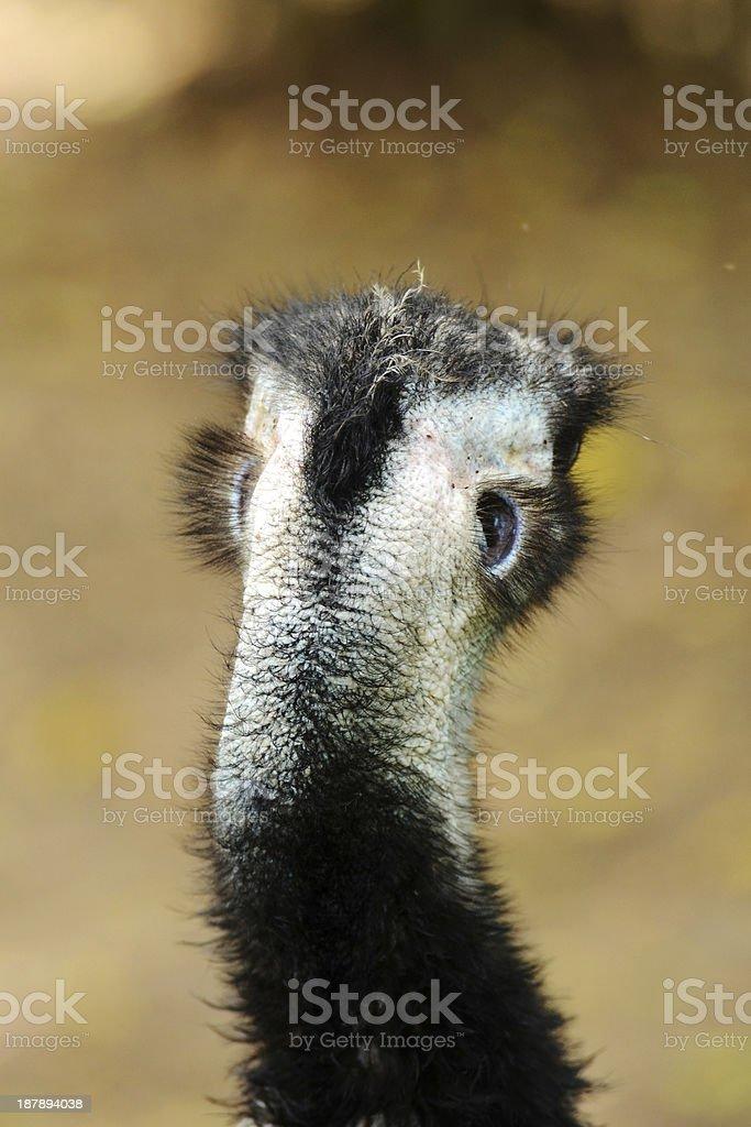 Cassowary royalty-free stock photo