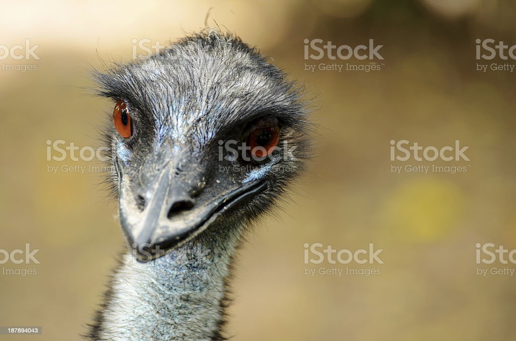 Cassowary royalty-free stock photo