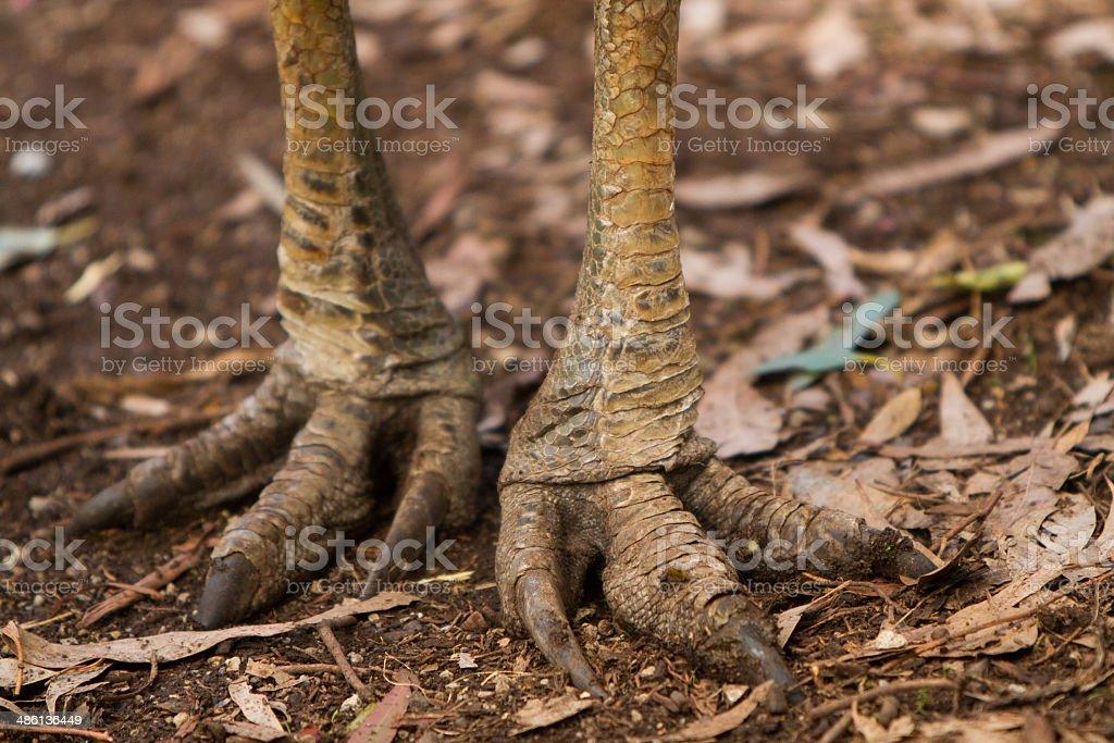Cassowary stock photo