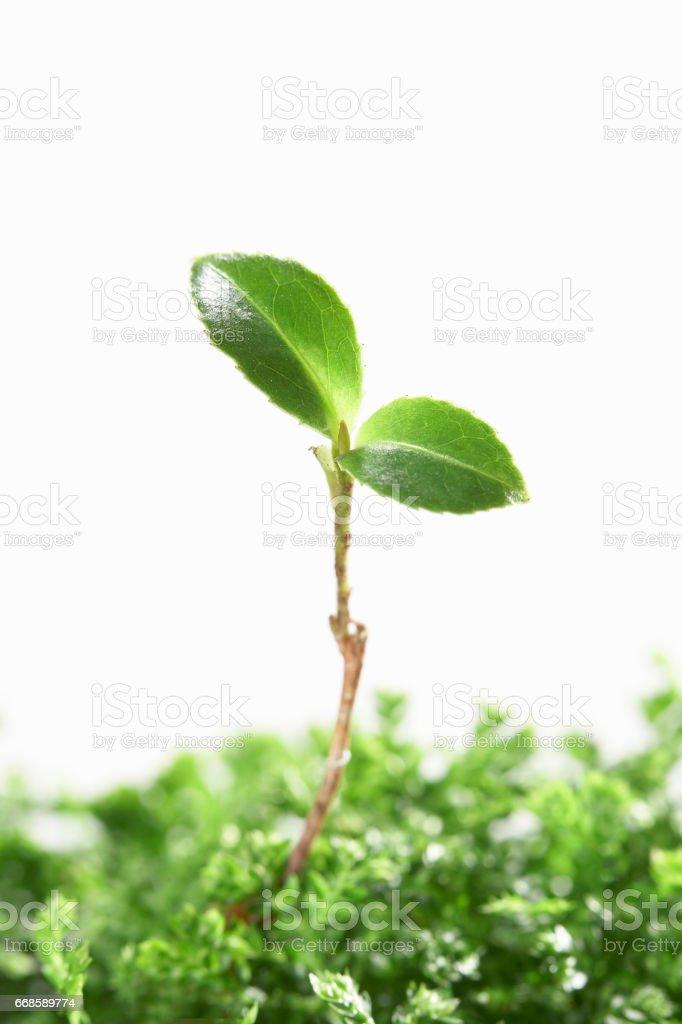 Castanopsis cuspidata var. sieboldii leaf stock photo
