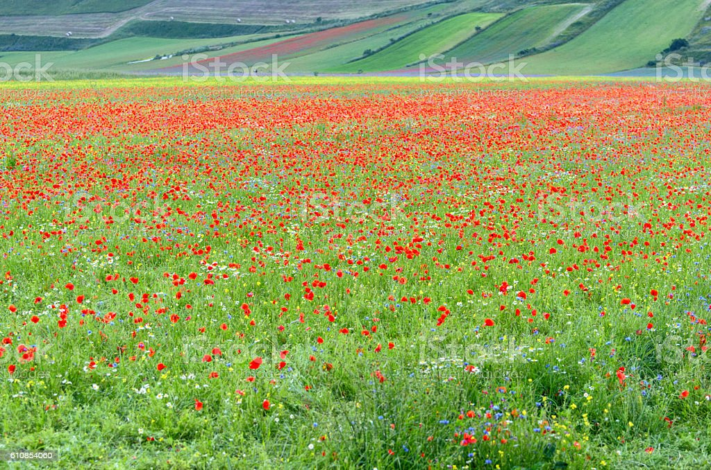 Castelluccio di Norcia (Umbria) colorful blooming stock photo