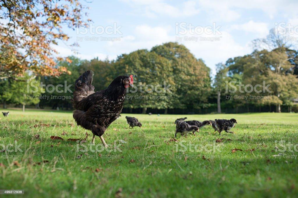Castilian Black Chicken Hen taking her chicks for a walk stock photo