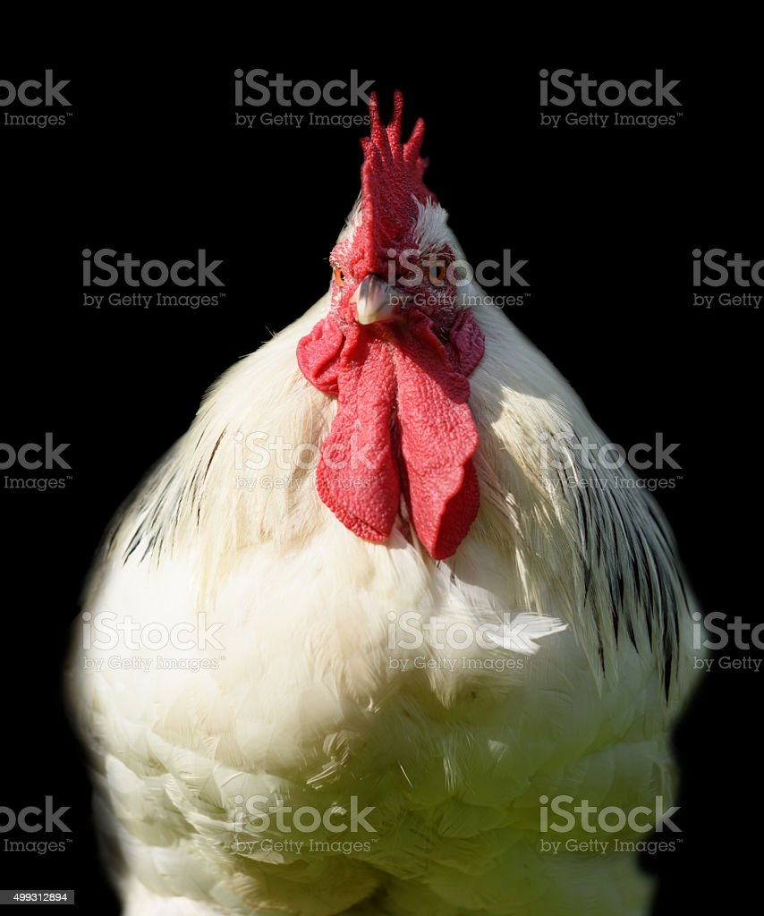 Castilian Black Chicken with Red Crest Isolated on Black stock photo