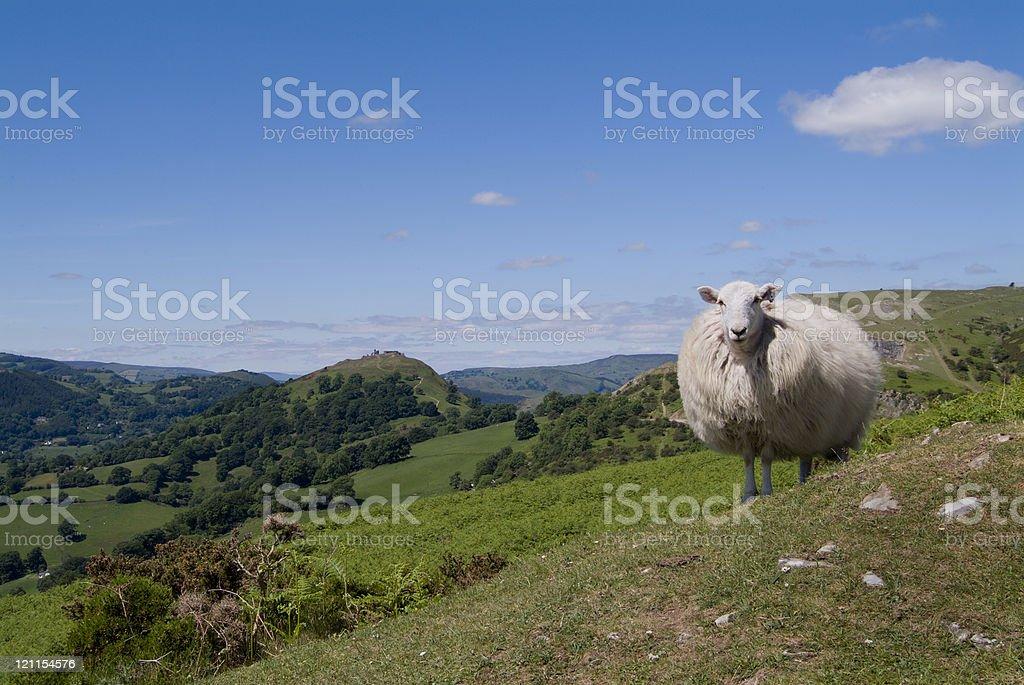 Castle Dinas Bran and a Sheep stock photo