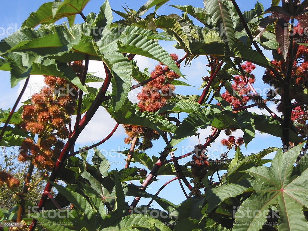 castor bean and seeds royalty-free stock photo