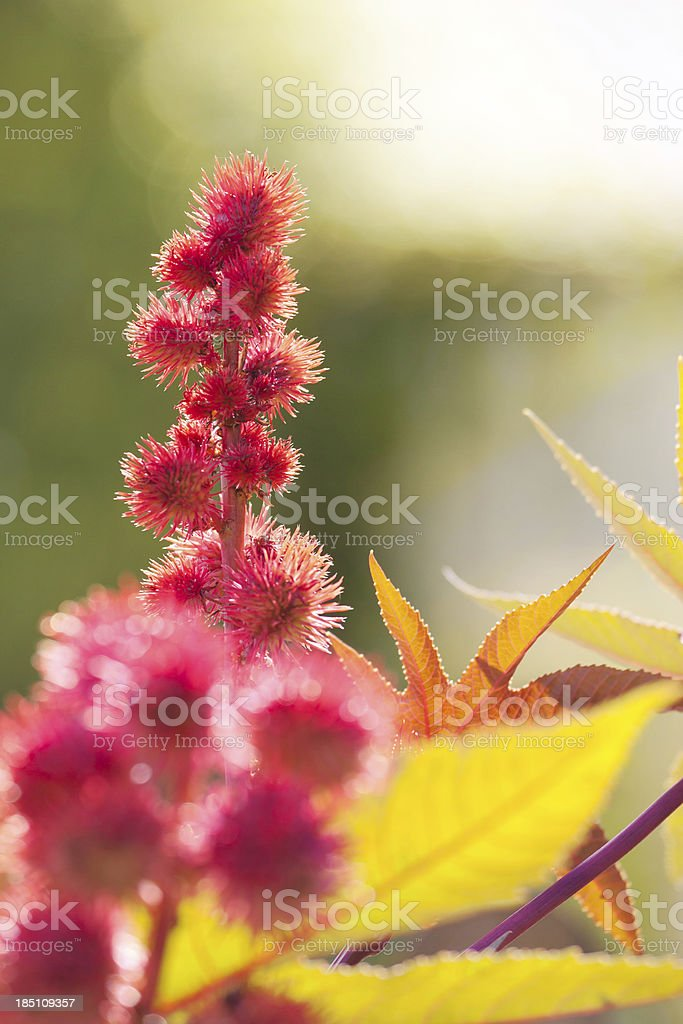 Castor bean plant stock photo