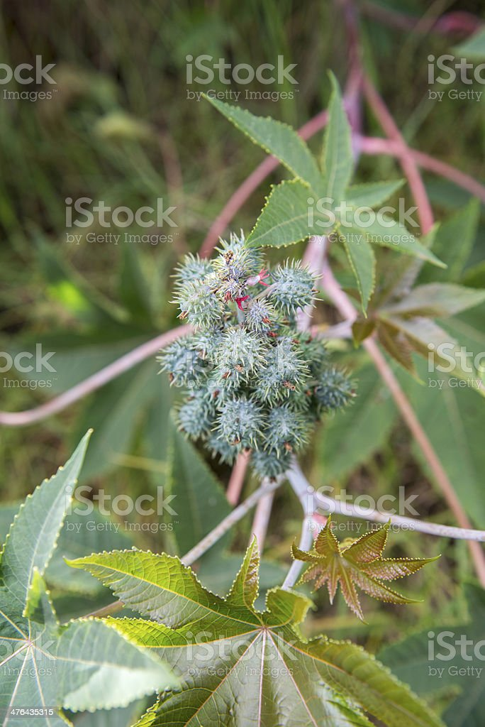 Castor Bean Plant (Ricinus communis) royalty-free stock photo