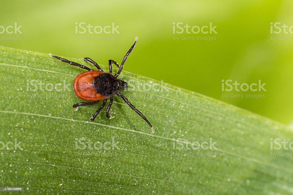 Castor bean tick (Ixodes ricinus) stock photo