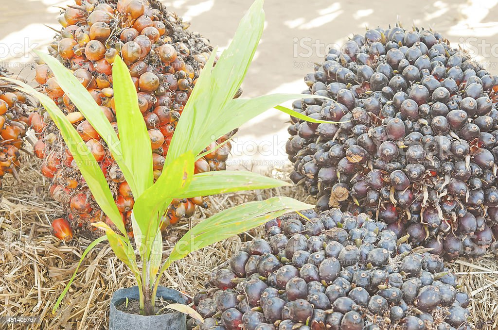 Castor of oil palm seeds stock photo