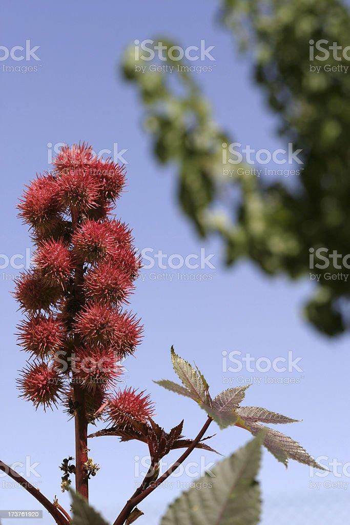 Castorbean plant stock photo