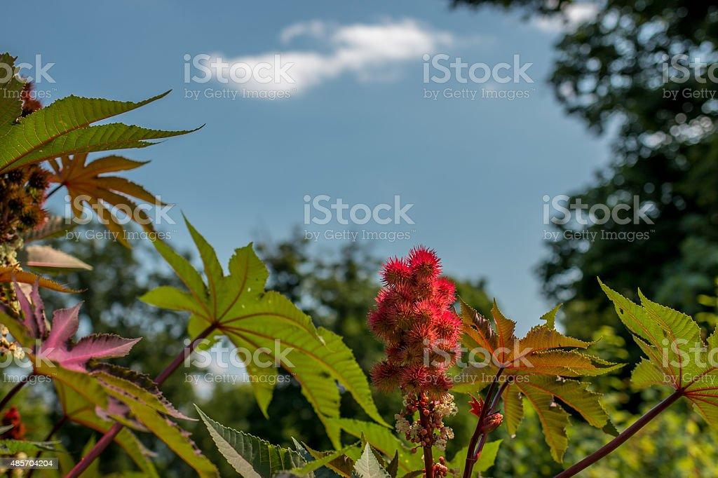 Castorbeans ( ricinus communis) stock photo