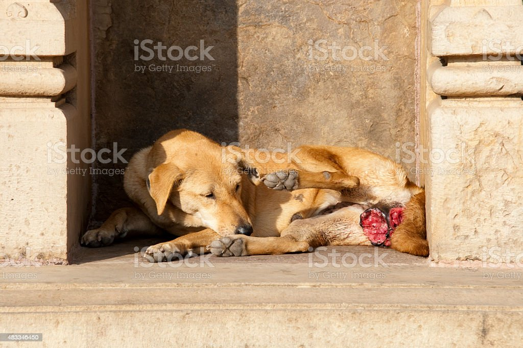 Castrated dog stock photo