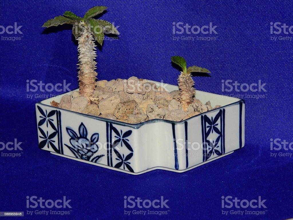 Castus - Coconut of Desert stock photo