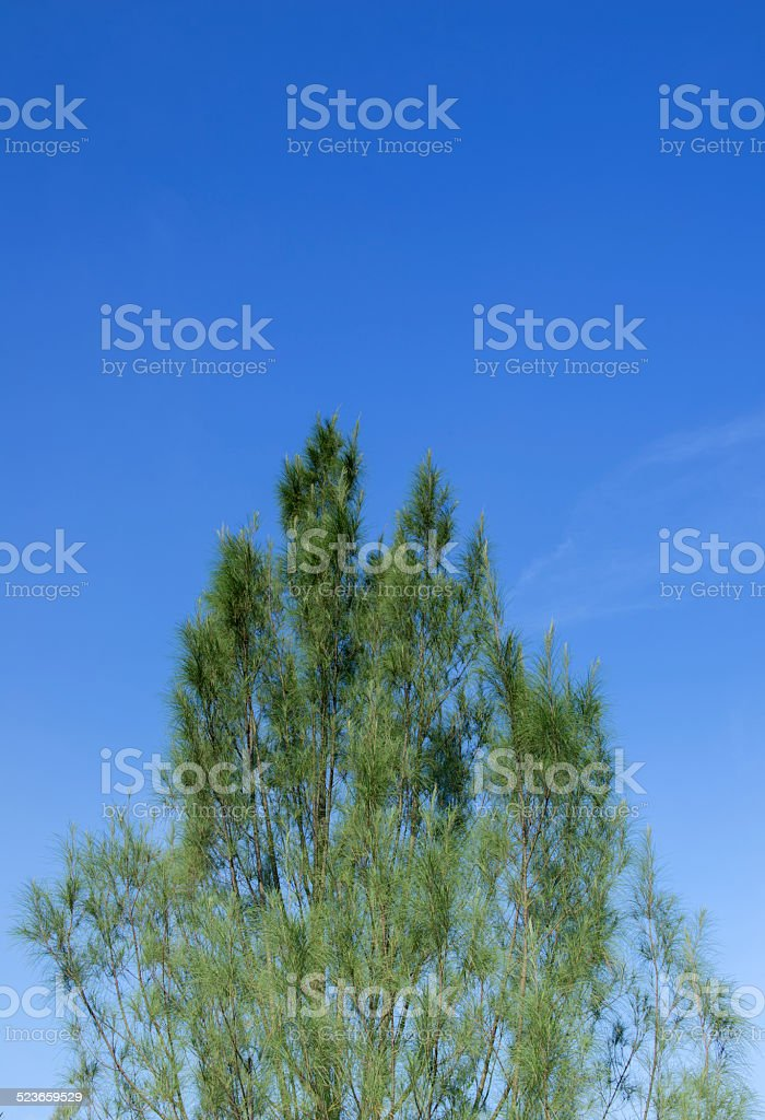 Casuarina leaves background stock photo
