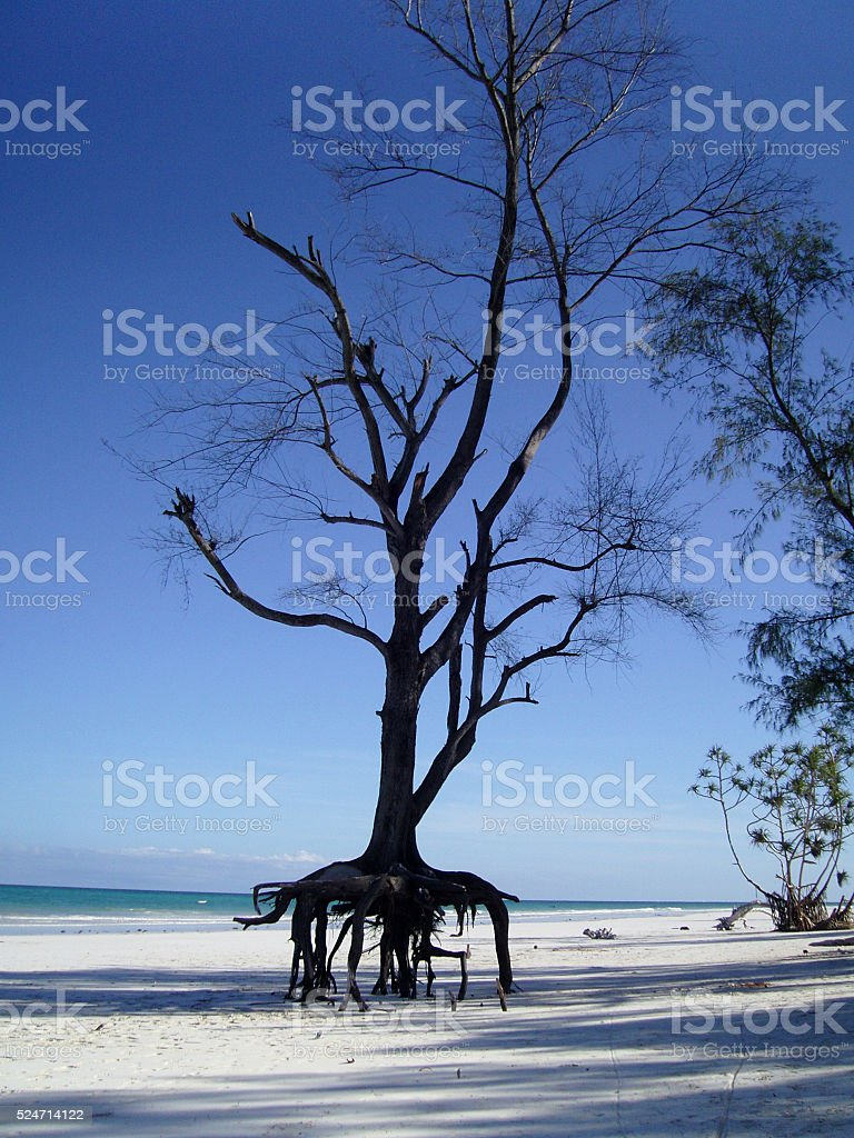 Casuarina Tree With It's Roots Exposed On The Beach, Kenya stock photo