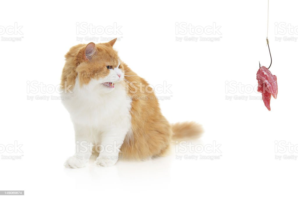 Cat and a fishing hook with meat royalty-free stock photo