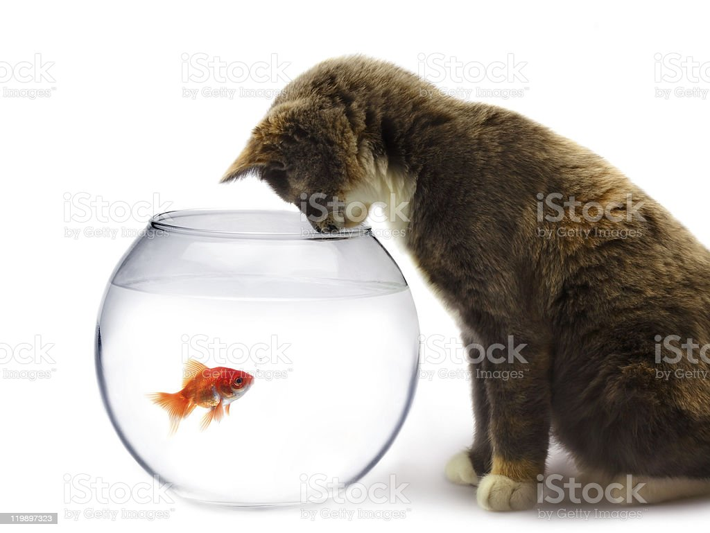 cat and a gold fish royalty-free stock photo