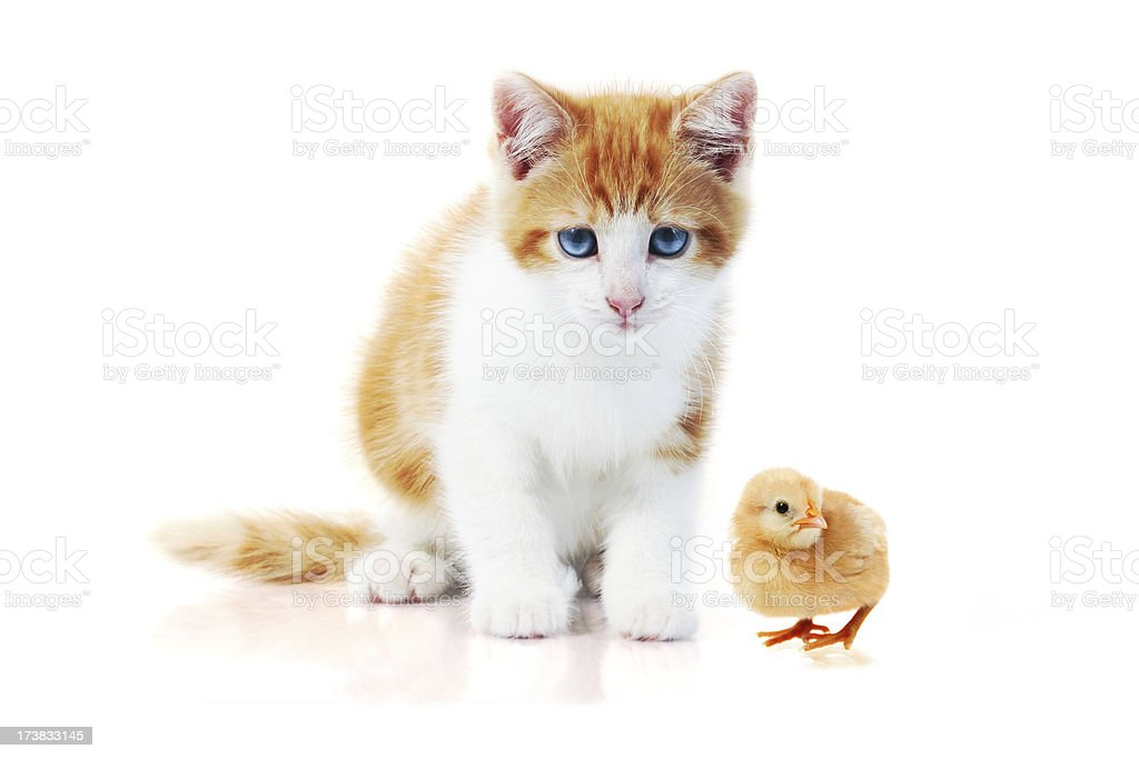 Cat and chick stock photo