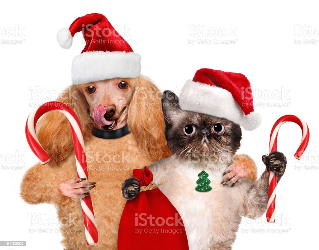 Cat and dog in red hat holds a Christmas candy. stock photo