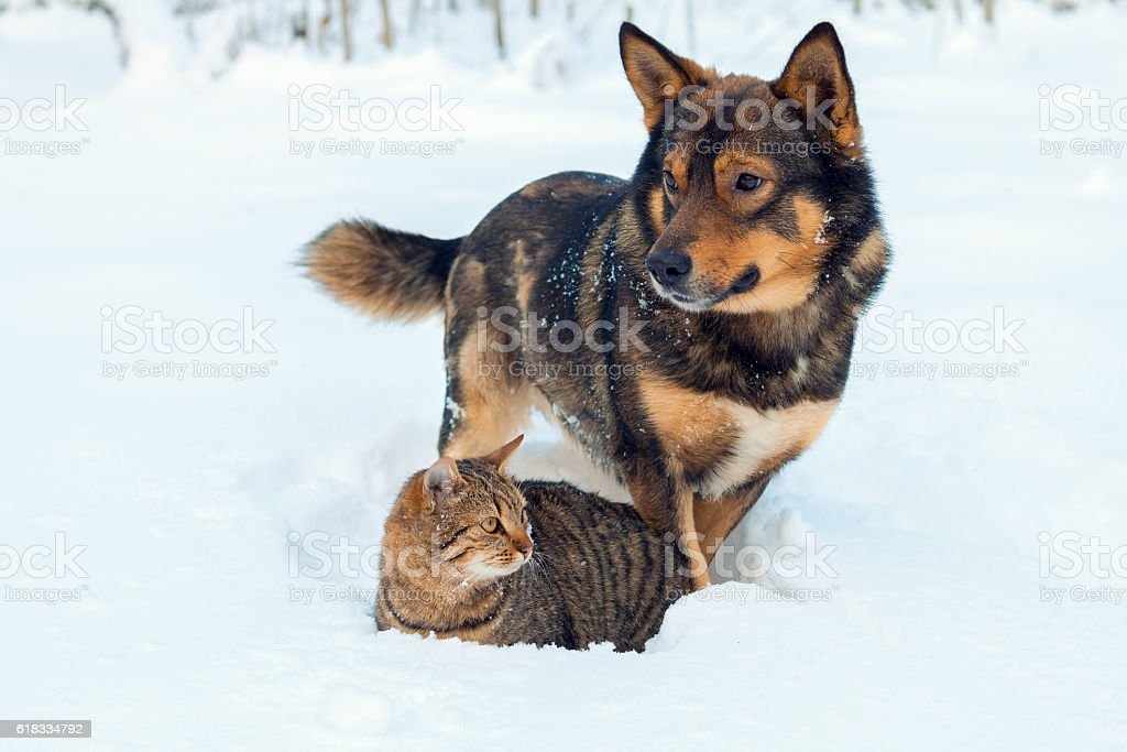 Cat and dog playing together on the snow in winter stock photo