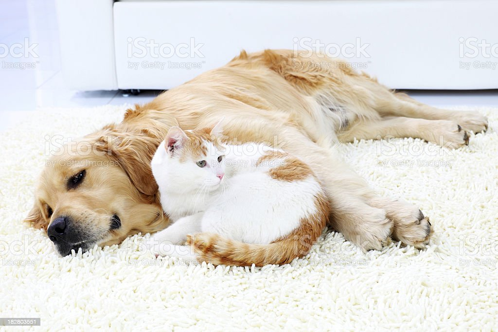 Cat and dog resting together. royalty-free stock photo