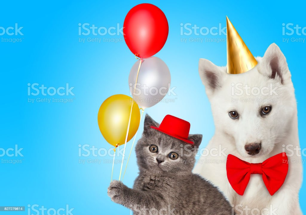 Cat and dog together with birthday party hats, Scottish kitten, Husky...