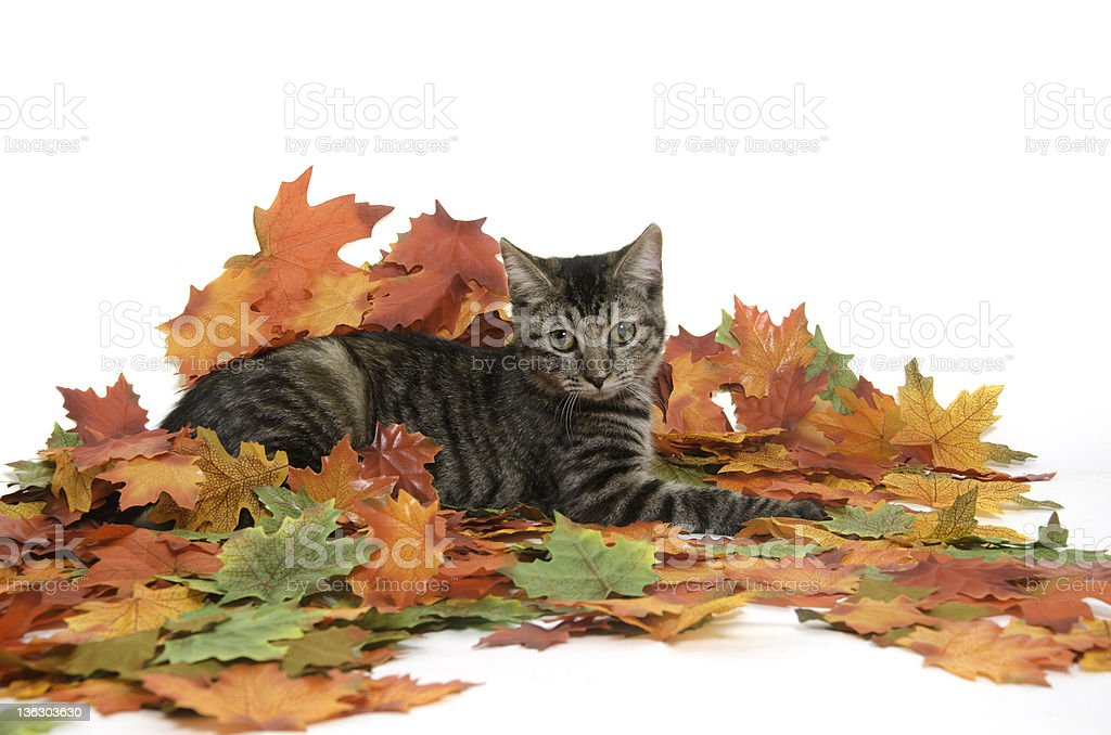 Cat and fall leaves stock photo