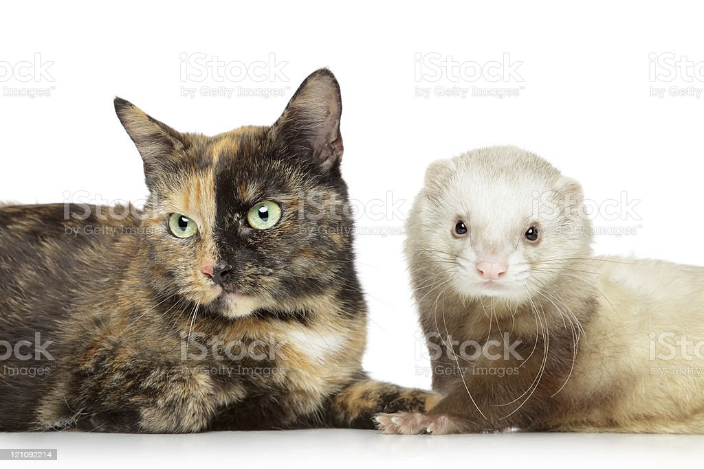 Cat and ferret on a white background stock photo