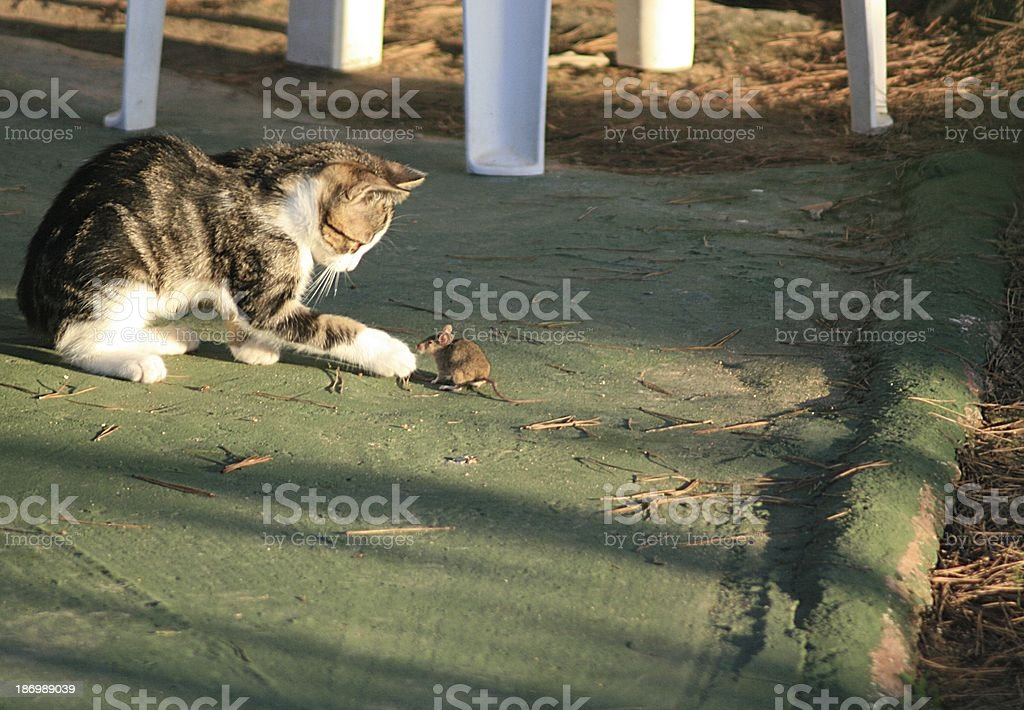 cat and mouse royalty-free stock photo