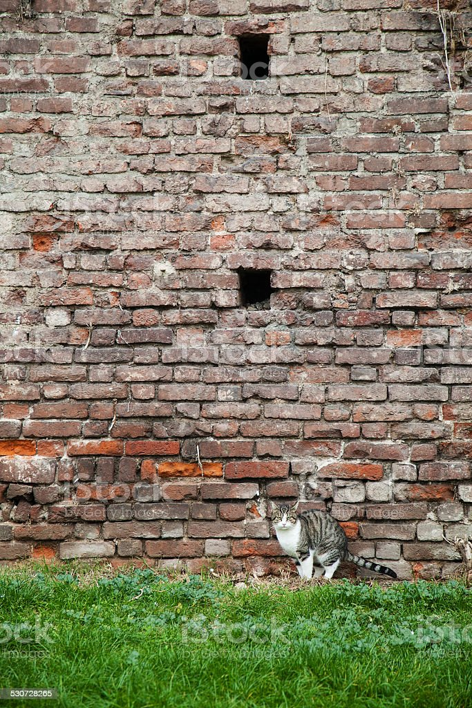 cat and old brick wall stock photo