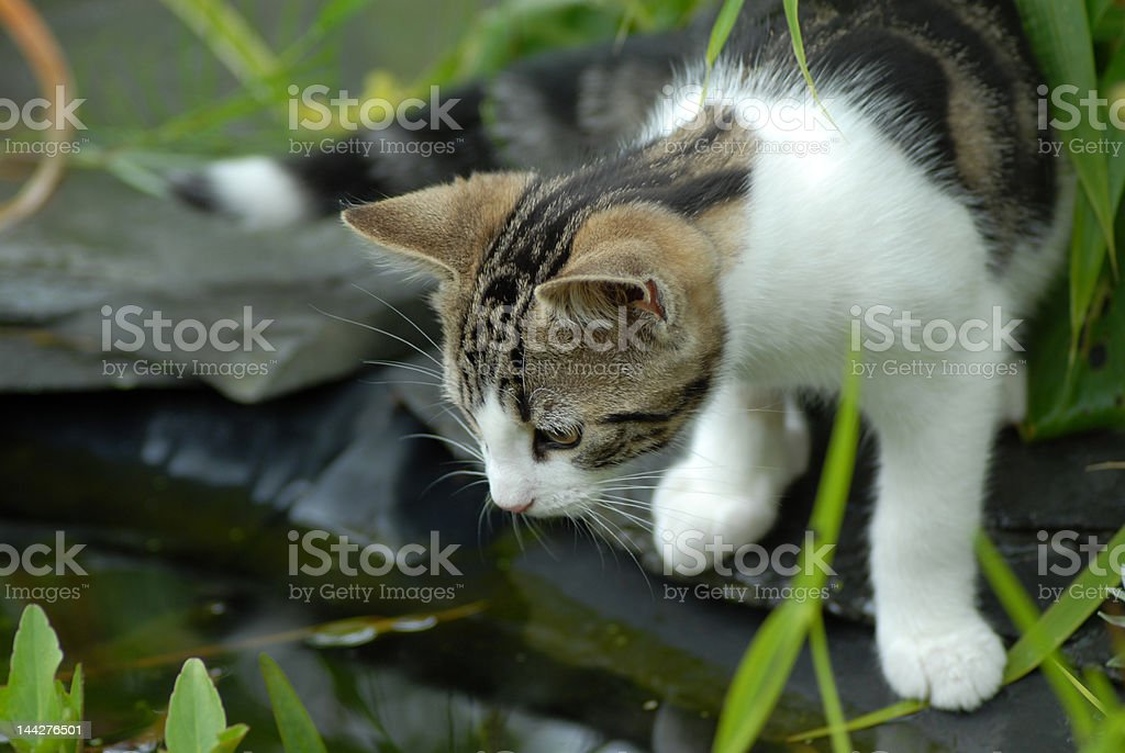 Cat and Pond royalty-free stock photo