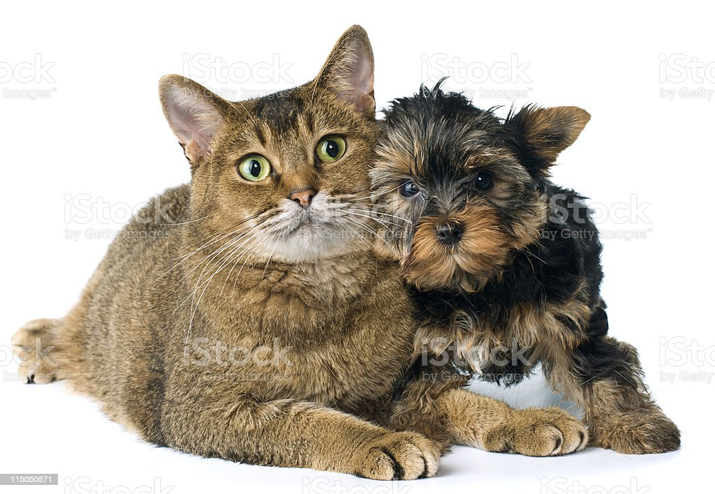 Cat and puppy  in studio royalty-free stock photo