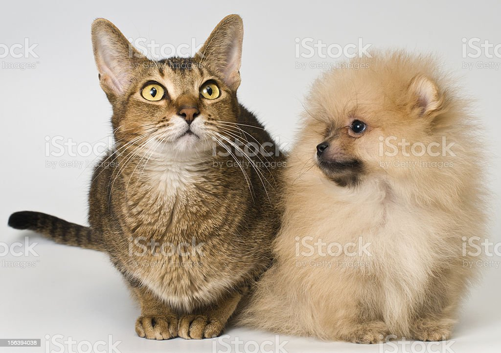 Cat and puppy of the spitz-dog in studio royalty-free stock photo