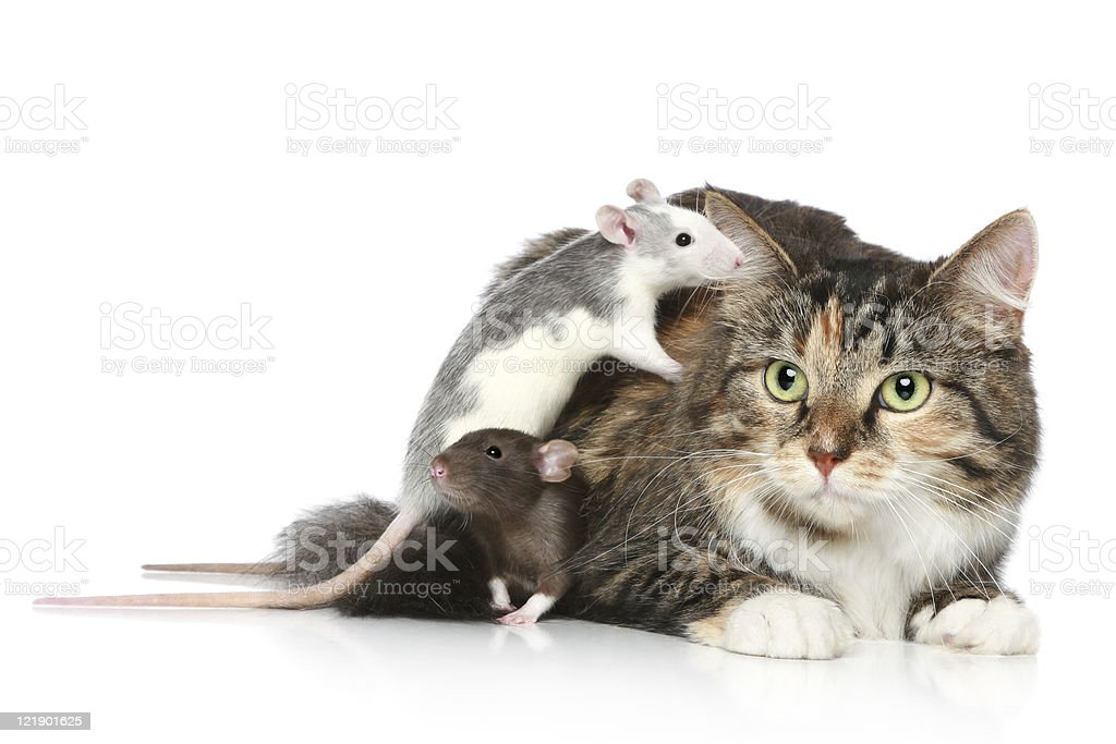 Cat and rats resting stock photo