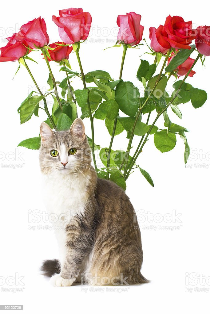 cat and roses royalty-free stock photo