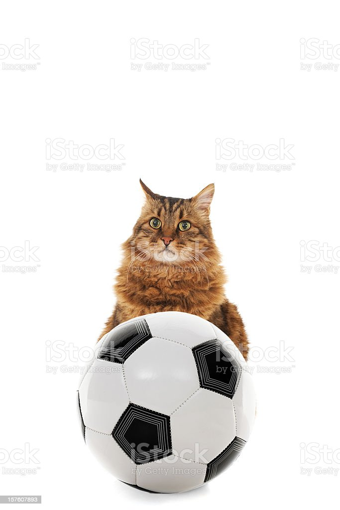 cat and soccer ball stock photo