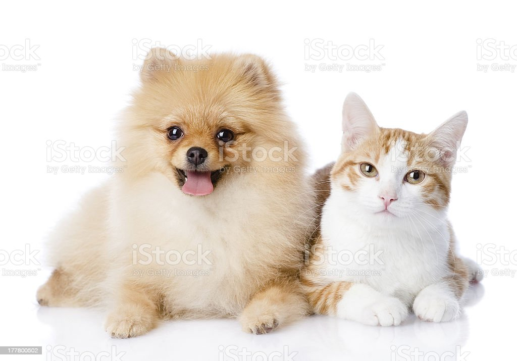 cat and spitz dog together stock photo