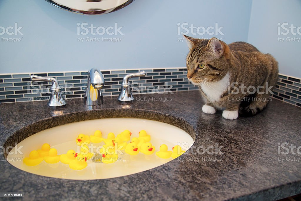 Cat and toy rubber ducks stock photo