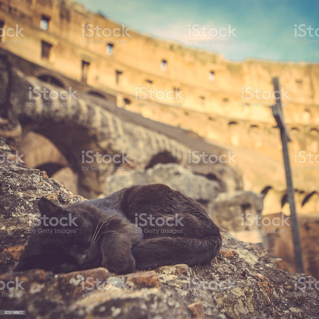 cat at colosseum rome stock photo