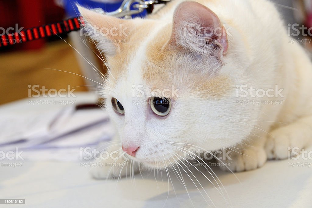 cat at the show royalty-free stock photo