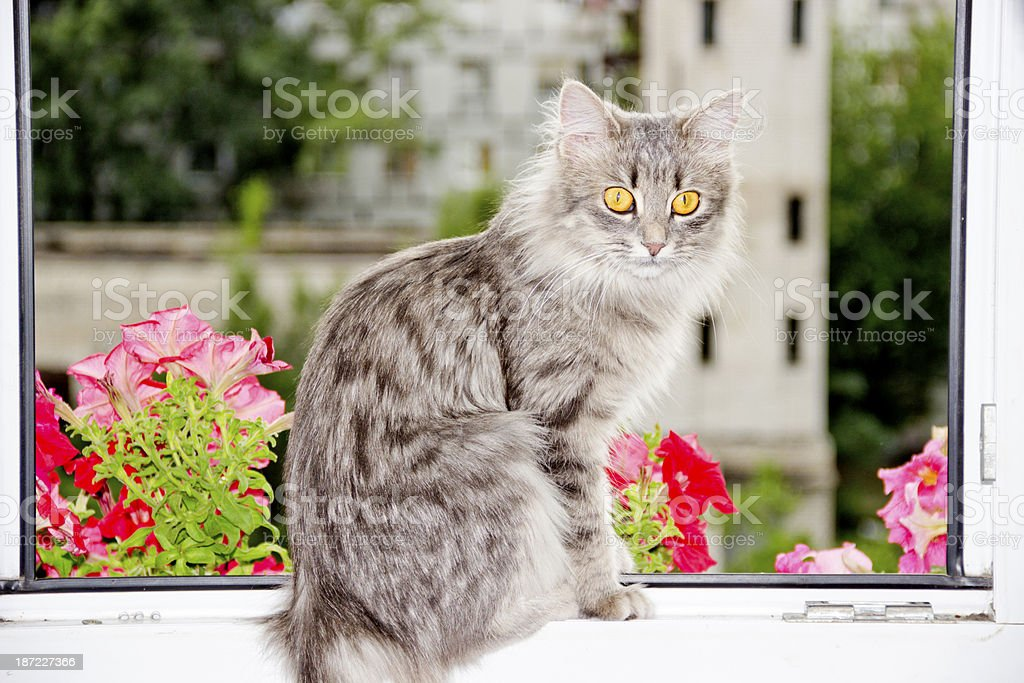 cat at the window royalty-free stock photo