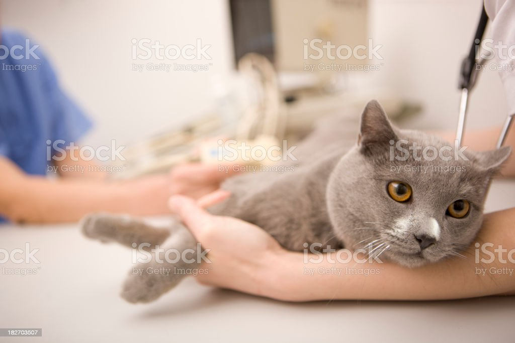 Cat at veterinarian stock photo