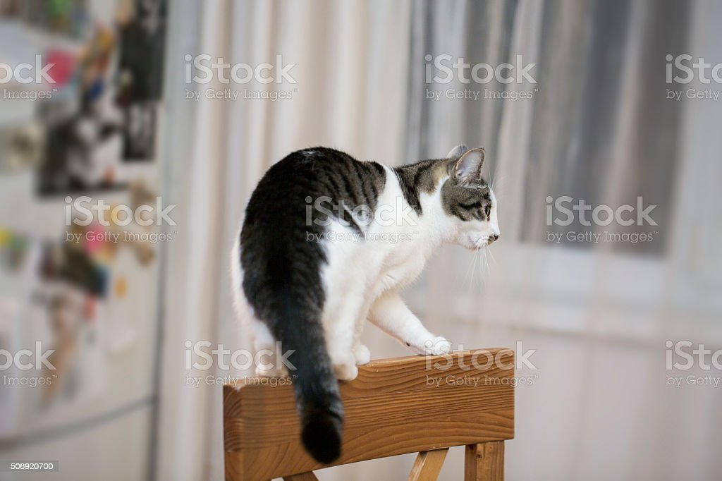 cat  balancing on the top of a chair-back stock photo